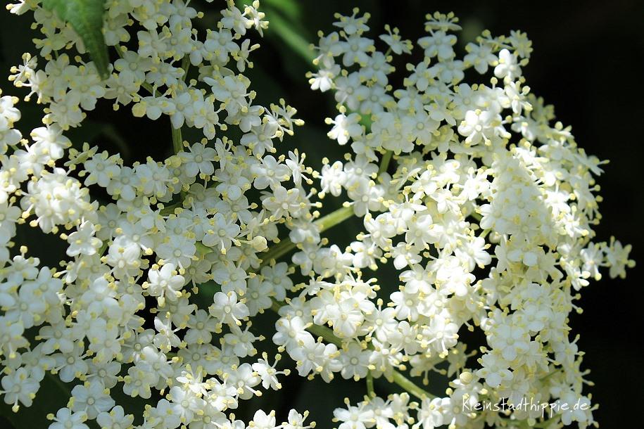 Hollerblüten - Holunderblüten